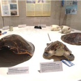 Here, turtle shells are shown to visitors. It also shows the different things that people make out of the turtle, such as the cowboy boots (left) and the can of turtle soup (back left). Photo by: Nicole Parra